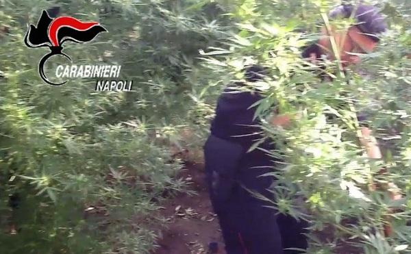 Somma Vesuviana, piantagione di cannabis in un fondo agricolo: arrestato proprietario