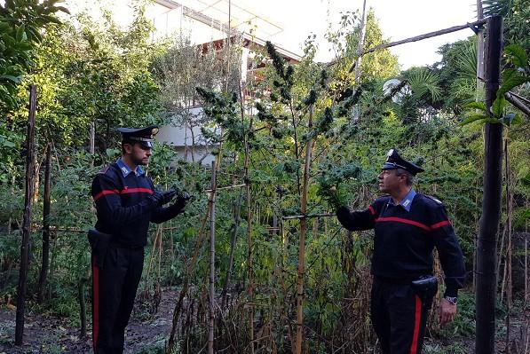 Piano di Sorrento, piantagione di cannabis nel giardino di casa: arrestato giardiniere