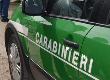 Catturava illegalmente cardellini: denunciato un uomo di Serino