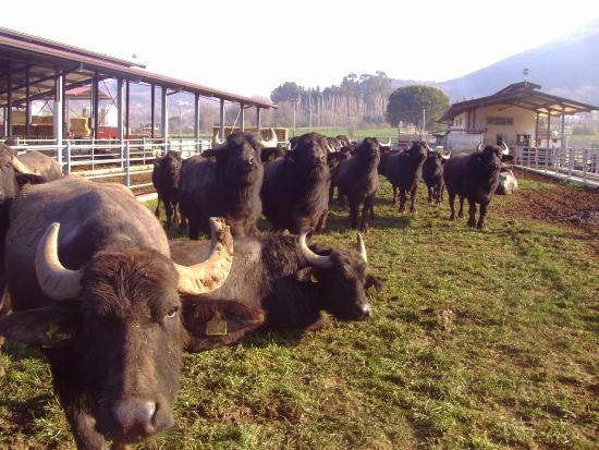 La bufala della Piana del Sele un patrimonio storico da salvaguardare