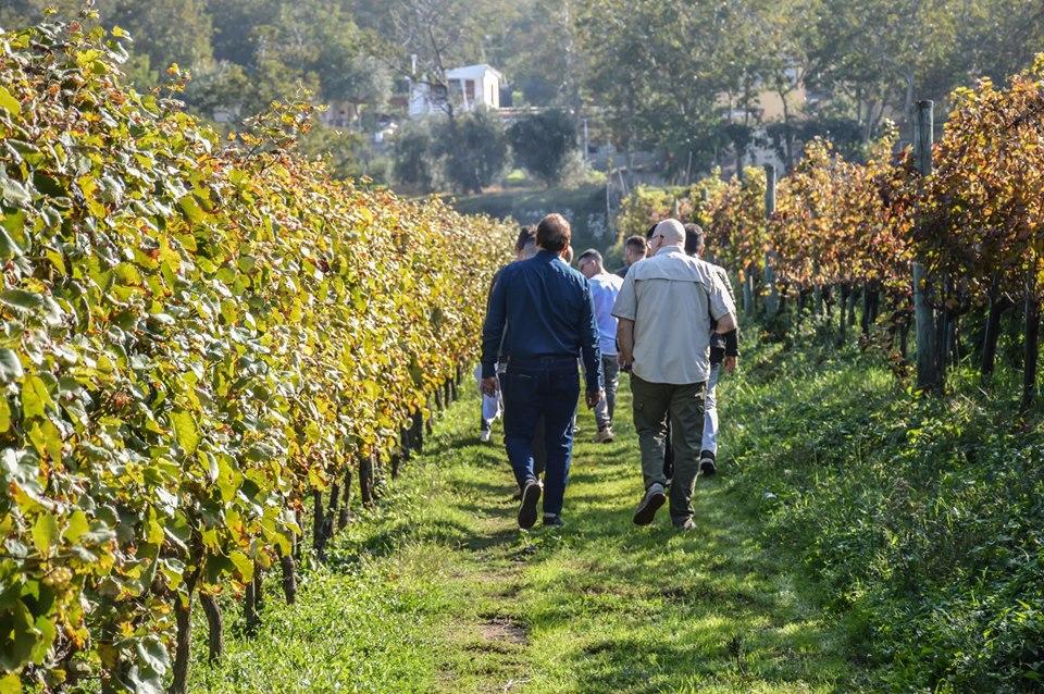 Vico Equense, studenti in vigna per raccogliere e valorizzare l'uva