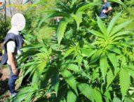 Napoli, sequestrate 102 piante di cannabis sui Monti Lattari