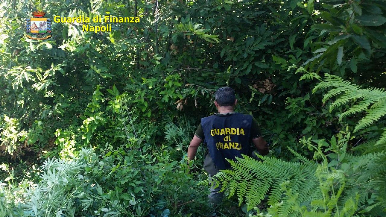 Napoli,  Guardia di finanza sequestra 50 piante di marijuana