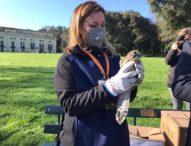 Napoli, Bosco di Capodimonte: Il falco e il gheppio sono tornati a volare