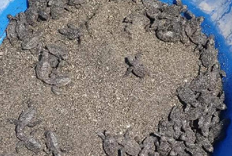 Spuntano 82 tartarughine sulla spiaggia di Maiori