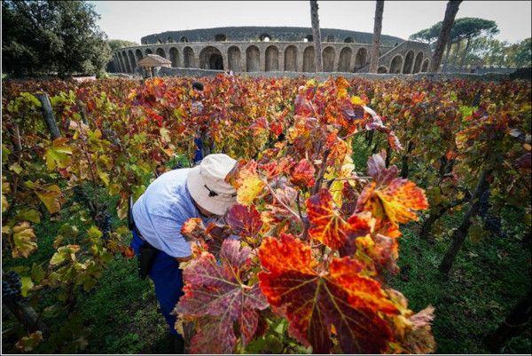 Vendemmia agli Scavi di Pompei, vigne aperte per i visitatori